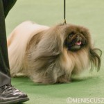 Malachy won his 115th - and biggest - Best in Show title at the Westminster Kennel Club Dog Show in New York. (photo by Kwai Chan / Meniscus Magazine)