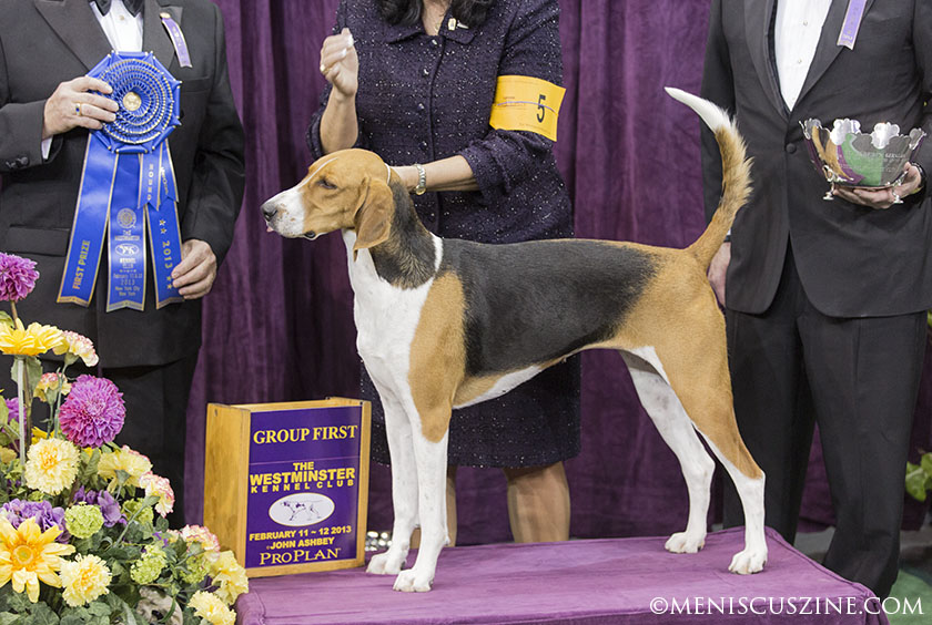 Jewel, an American Foxhound, won Best in Group in the Hound category at the 2013 Westminster Dog Show. (photo by Kwai Chan / Meniscus Magazine)