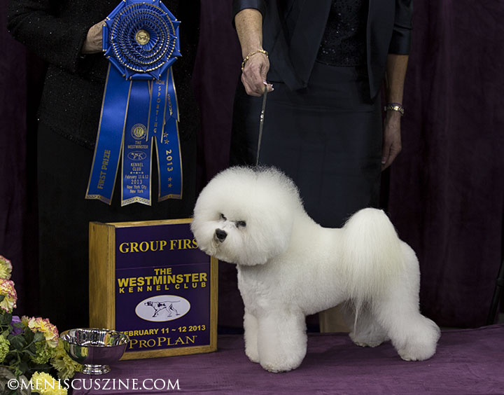 Honor, a Bichon Frise, won the Non-Sporting Group at the 2013 Westminster Kennel Club Dog Show in New York. (photo by Kwai Chan / Meniscus Magazine)