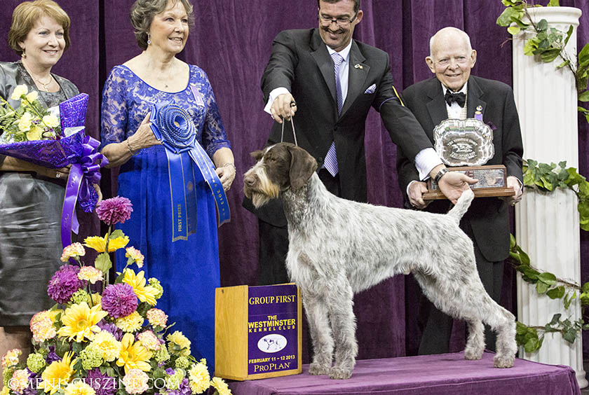 Oakley (GCH Mt View's Ripsnortersilvercharm, a German Wirehaired Pointer, won the Sporting Group at the 2013 Westminster Dog Show. (photo by Kwai Chan / Meniscus Magazine)