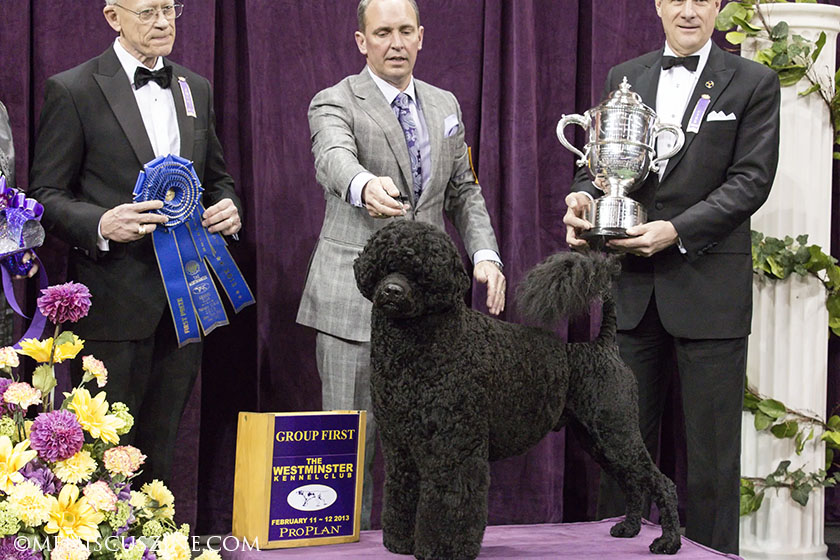 Matisse, a Portuguese Water Dog, won Best in Group honors in the Working category. Fun fact: Matisse is the same breed as President Barack Obama's dog Bo. (photo by Kwai Chan / Meniscus Magazine)