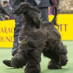 WKC_Hound_AfghanHound
