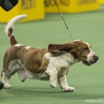 WKC_Hound_BassetHound