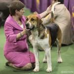 WKC_Hound_EnglishFoxhound