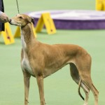 WKC_Hound_Greyhound