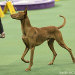 WKC_Hound_PharaohHound