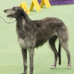 WKC_Hound_ScottishDeerhound