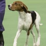 WKC_Hound_TreeingWalkerCoonhound