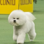 WKC_NonSporting_BichonFrise