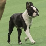 WKC_NonSporting_BostonTerrier