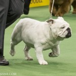 WKC_NonSporting_Bulldog