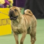 WKC_NonSporting_ChineseShar-Pei