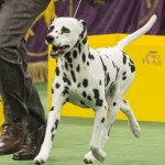 WKC_NonSporting_Dalmatian