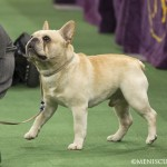 WKC_NonSporting_FrenchBulldog