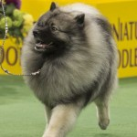 WKC_NonSporting_Keeshond