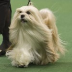 WKC_NonSporting_LhasaApso