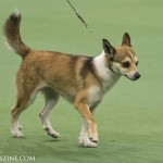 WKC_NonSporting_NorwegianLundehund