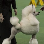 WKC_NonSporting_Poodle_(Standard)