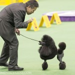 WKC_NonSporting_Poodle_(miniature)