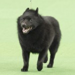 WKC_NonSporting_Schipperke