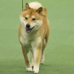 WKC_NonSporting_ShibaInu