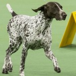 WKC_Sporting_Pointer (German Shorthaired)