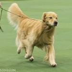 WKC_Sporting_Retriever (Golden)