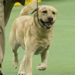WKC_Sporting_Retriever (Labrador)