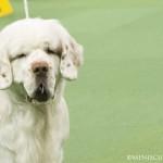 WKC_Sporting_Spaniel (Clumber)