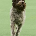 WKC_Sporting_Wirehaired Pointing Griffon