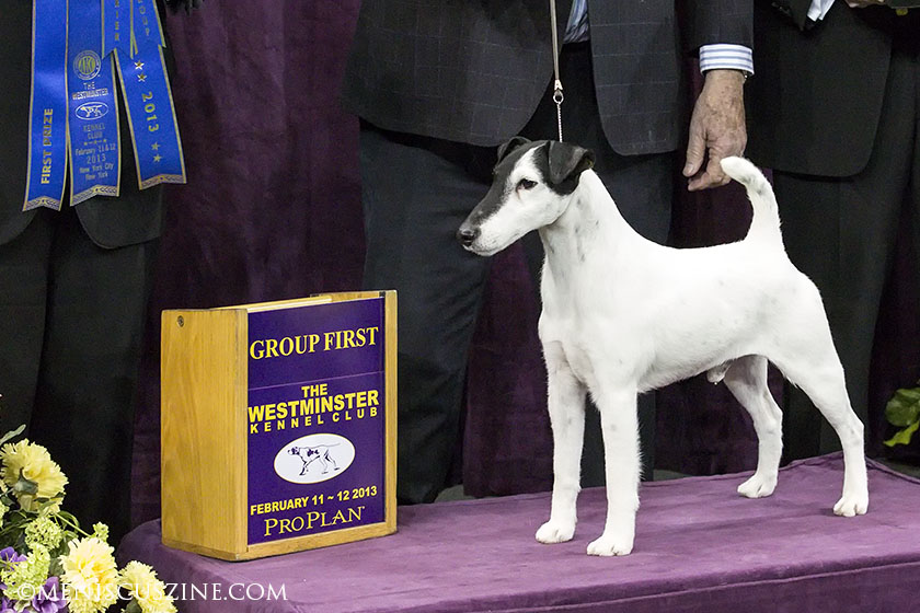 Adam (GCH Slyfox Sneak's A Peek), a smooth fox terrier, won the Terrier Group at the 2013 Westminster Dog Show. (photo by Kwai Chan / Meniscus Magazine)