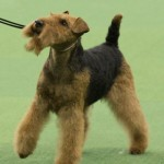 WKC_Terrier_Airedale_2