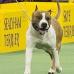 WKC_Terrier_American Staffordshire