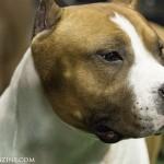 WKC_Terrier_American Staffordshire_2