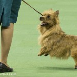 WKC_Terrier_Australian