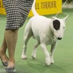 WKC_Terrier_Bull (white)