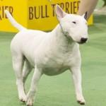 WKC_Terrier_Miniature Bull