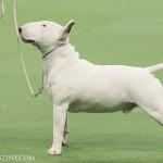 WKC_Terrier_Miniature Bull_2