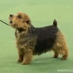 WKC_Terrier_Norfolk