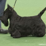 WKC_Terrier_Scottish