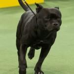 WKC_Terrier_Staffordshire