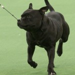 WKC_Terrier_Staffordshire_2