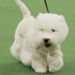 WKC_Terrier_West Highland White