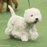 WKC_Terrier_West Highland White_2