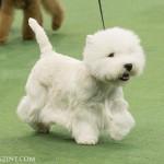 WKC_Terrier_West Highland White_2