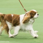 WKC_Toy_CavalierKingCharlesSpaniel