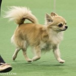 WKC_Toy_Chihuahua_(long coat)