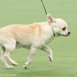 WKC_Toy_Chihuahua_(smooth coat)