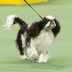 WKC_Toy_EnglishToySpaniel_(Blenheim&PrinceCharles)