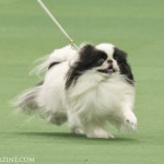 WKC_Toy_JapaneseChin